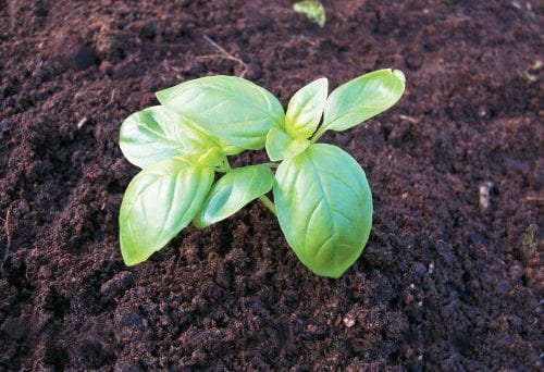 Edible garden: Growing basil 10
